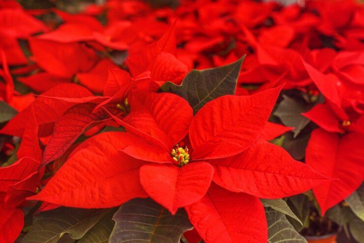 Far fiorire la stella di Natale Mammastobene.com
