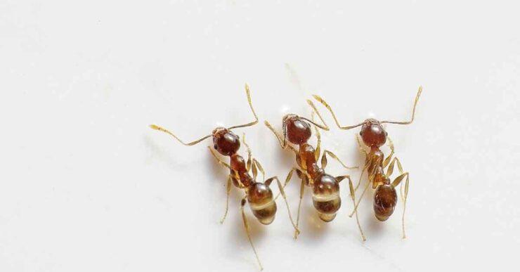 Come tenere lontane le formiche dall'orto
