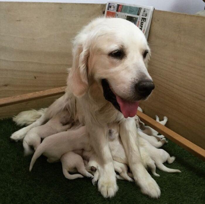Mamma Labrador e i figli tentacoli