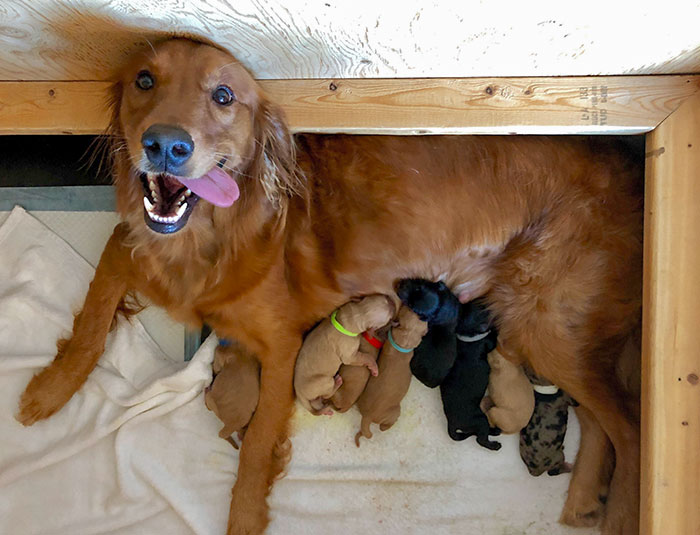 Nove cuccioli mix di Golden Retriever