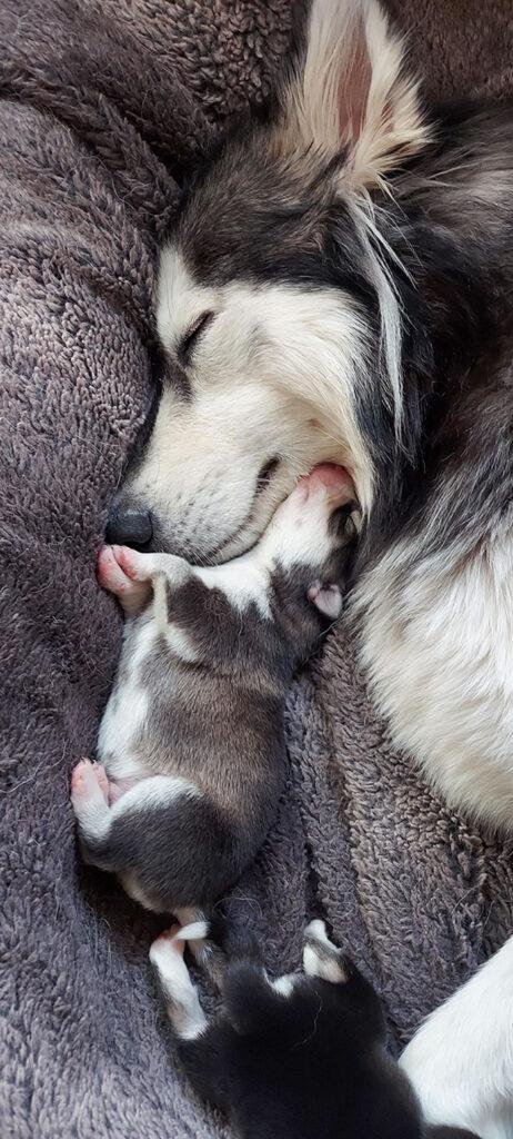 mamma husky