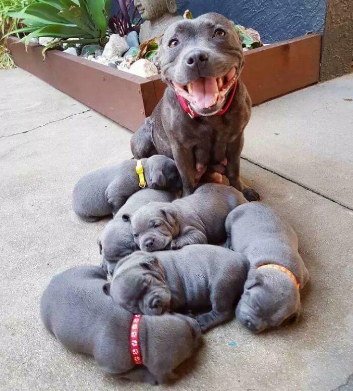 Mamma Pitbull orgogliosa