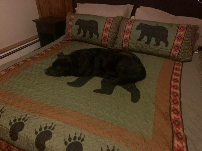 Cane sulla coperta sembra un orso